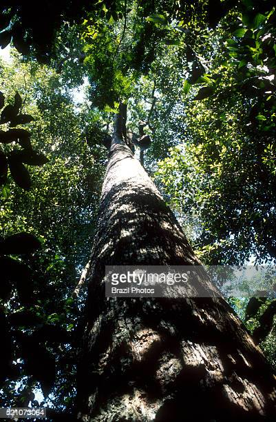 View from below of Brazil nut tree inside dense and intact Amazon rain forest Brazil