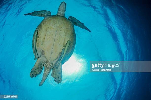 View from below of green sea turtle swimming at the surface on May 20 Marsa Alam, Egypt, Red Sea. Chelonia mydas is one of the largest of all sea...