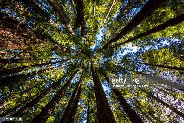 view from below of sequoia trees in forest in redwood national park - directly below stock pictures, royalty-free photos & images