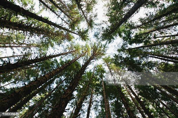 view from below of the tree canopy of the hemlock and spruce temperate rainforest , the hoh rainforest in washington usa - hemlock tree stock pictures, royalty-free photos & images