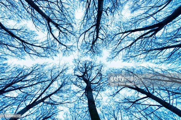 view from below the lush forest of poplars - capillary body part stock photos and pictures