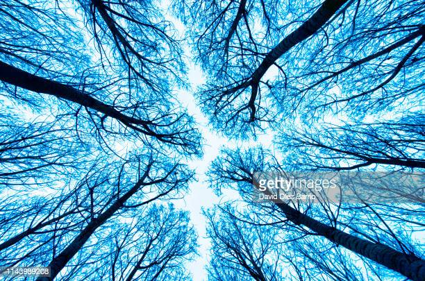 view from below the lush forest of poplars - blood vessels stock pictures, royalty-free photos & images