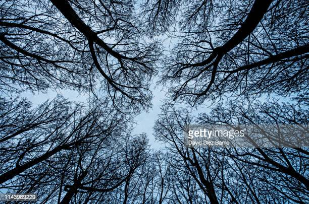 view from below the lush forest of poplars - bladnerf stockfoto's en -beelden