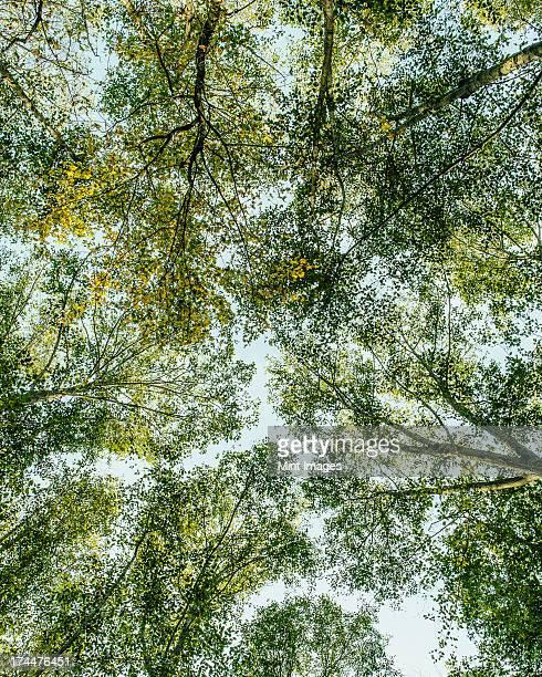 blick von unten, bis in die üppigen, grünen baldachin - erle stock-fotos und bilder