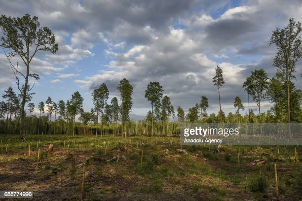 View from Bialowieza forest, an Unesco natural world heritage site, after logging in Bialowieza, Poland on May 26, 2017.