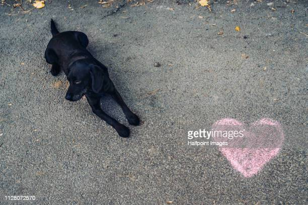 a view from directly above of black dog lying on a road, with chalk heart near it. - chalk drawing stock pictures, royalty-free photos & images