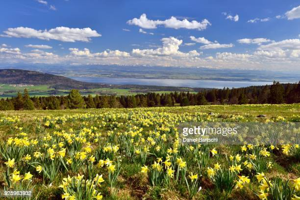 view from swiss jura, meadow with yellow daffodils over lake neuchatel and swiss mittelland, at the back swiss alps, canton of neuchatel, switzerland - narcissus mythological character stock photos and pictures