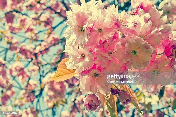 view from under a cherry blossom tree - catherine macbride stock pictures, royalty-free photos & images