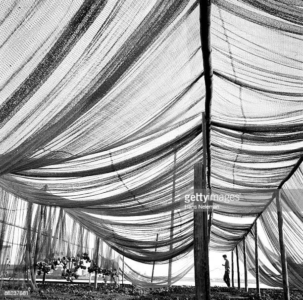 View from underneath a large commercial fishing net as it dries on beach, Algarrobo, Valparaíso Region, Chile, December 1940.