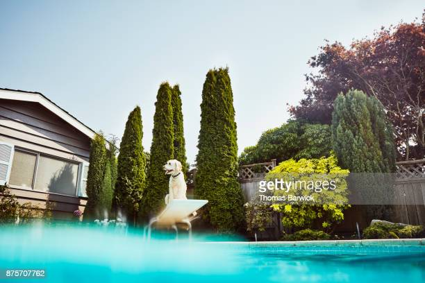 View from water of dog sitting on diving board of backyard pool on summer afternoon
