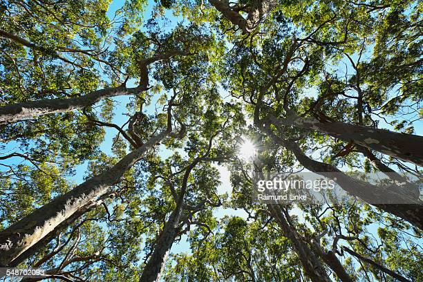 View in Eucalyptus Treetop with Sun