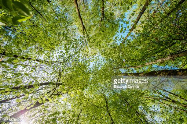 view in treetops of beeches in spring - surrounding stock pictures, royalty-free photos & images
