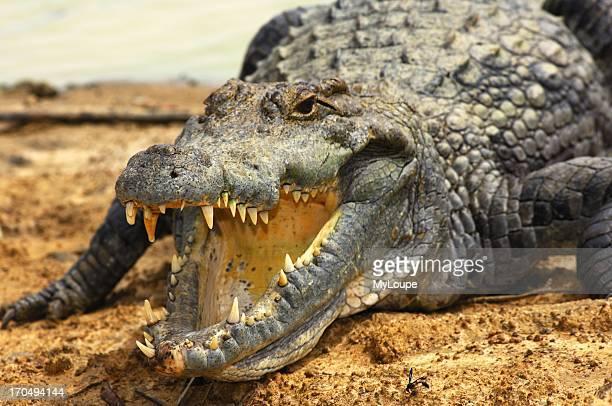 View into the pharynx of a Nile crocodile Sacred Crocodiles of Bazoule near Ouagadougou Burkina Faso