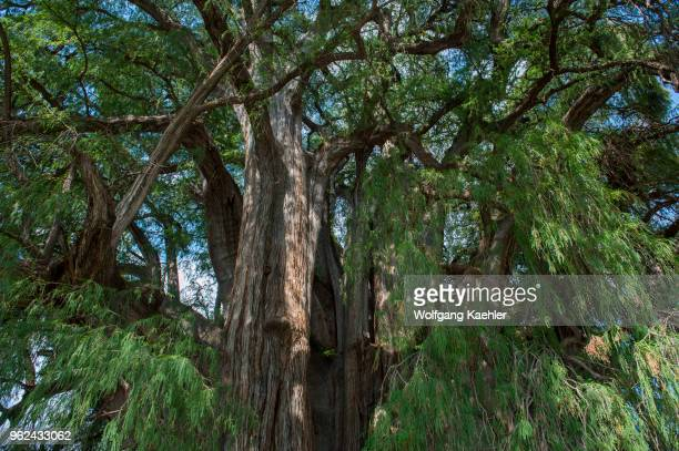 View into the tree canopy of the El Arbol del Tule a tree located in the church grounds in the town center of Santa Maria del Tule in the Mexican...