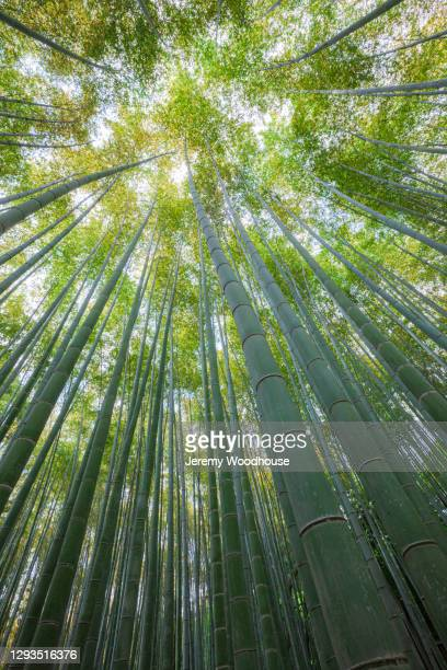 view looking up at the arashiyama bamboo grove - jeremy chan stock pictures, royalty-free photos & images