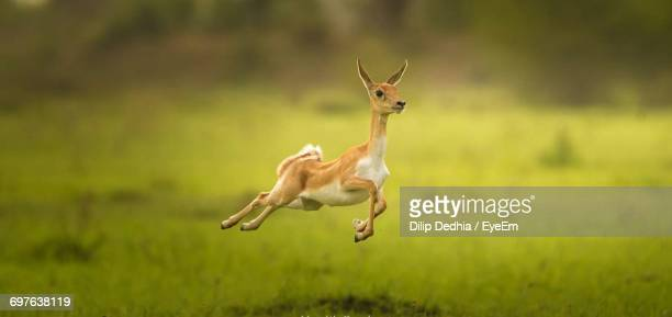 View Of A Antelope