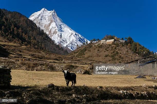 View Of A Buddhist Monastery, A Yak, And Manaslu Peak Rising 26,659 Feet Above Sea Level As Seen From Lho Village, Nupri Region, Nepal.