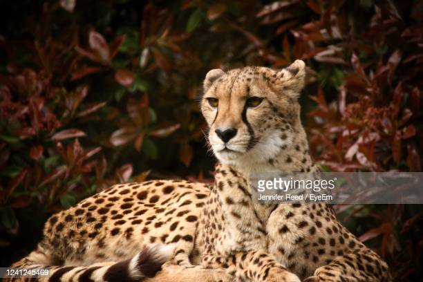 view of a cheetah laying on land - jennifer reed stock pictures, royalty-free photos & images