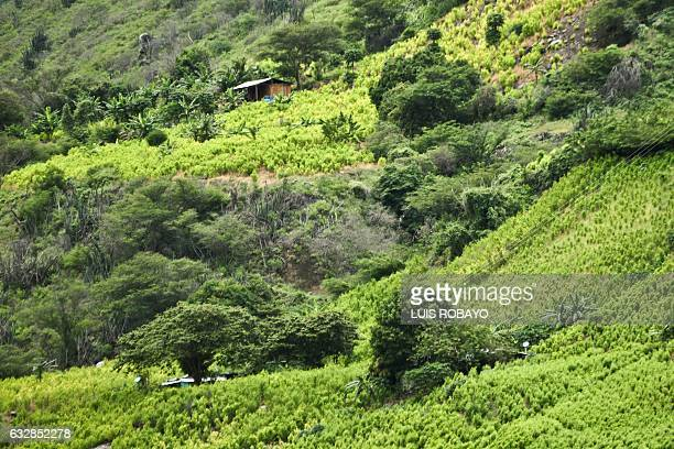 View of a coca field on a hillside in a rural area of Policarpa department of Narino Colombia on January 15 2017 The Colombian government and FARC...