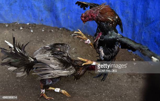 View of a cockfight in Chulumani the Yungas on August 22 2015 Cockfights are a tradition during popular festivities in most provinces and cities of...
