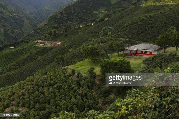 View of a coffee farm in the mountainous area near Ciudad Bolivar Antioquia department Colombia on October 22 2017 October is the peak of the coffee...
