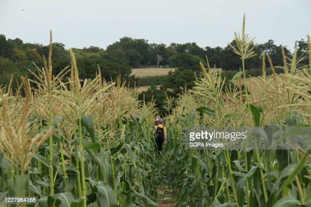 View of a corn cob plantation as people walk in, at the Parkside Farm Pick Your Own. Pick your own crop farms is a popular summer 'event' in the UK...