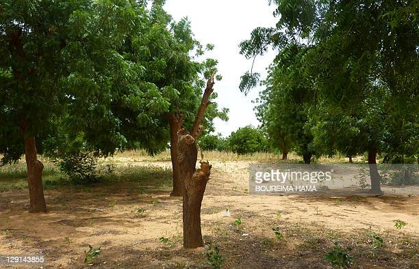 A view of a cut tree inside the socalled 'green belt' outside the city of Niamey on October 5 2011 The 'green belt' project which was finished in...