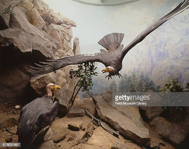 View of a diorama depicting a scene in the mountains and showing nesting California Condors or Gymnogyps californianus March 1939