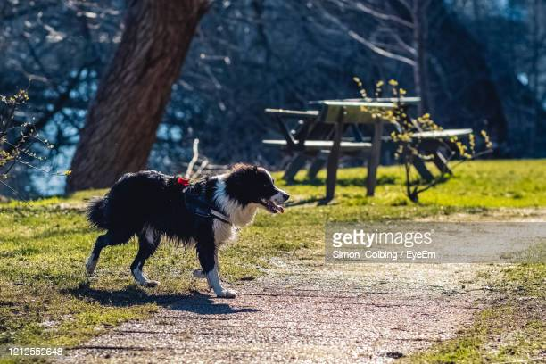view of a dog on field - colbing stock pictures, royalty-free photos & images