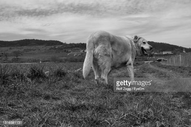 view of a dog on field - sankt poelten stock pictures, royalty-free photos & images