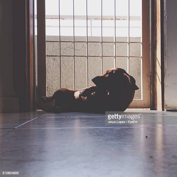 view of a dog resting on floor - lopez stock pictures, royalty-free photos & images