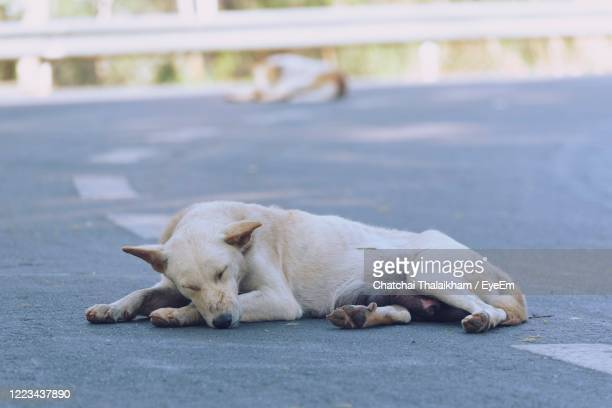 view of a dog sleeping on street - chatchai thalaikham stock pictures, royalty-free photos & images