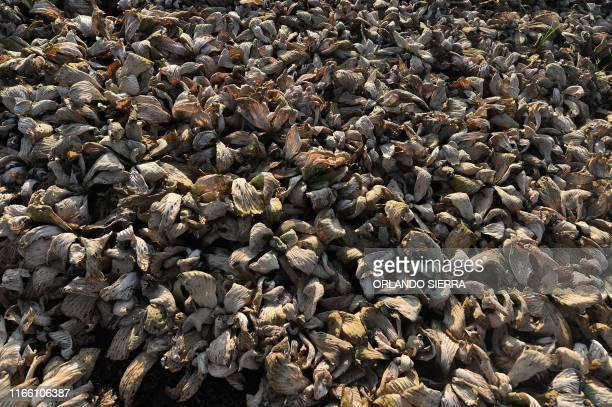 TOPSHOT View of a dried lettuce plantation at the Jucutuma Lake in San Pedro Sula Honduras on September 1 2019 Honduras declared a state of emergency...