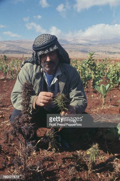 View of a farmer tending to cannabis plants from which the drug hashish will be extracted on a farm in a valley near Beirut in Lebanon in November...