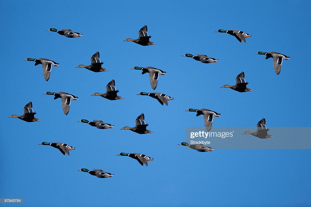 View Of A Flock Of Ducks Flying South Stock Photo - Getty ...  Flock