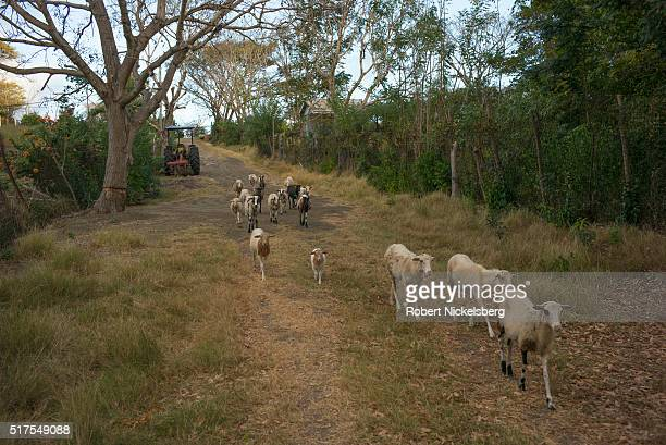 View of a flock of sheep as they walk along a path in central Carriacou island Grenada March 4 2016