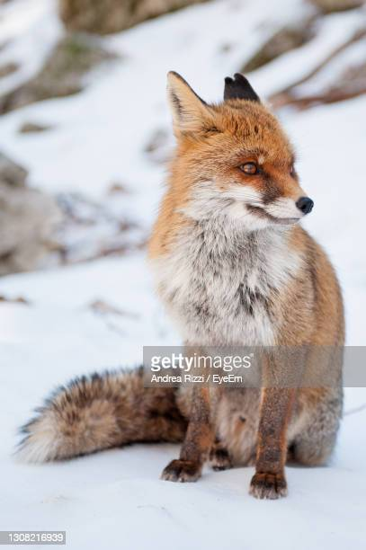 view of a fox looking away on snow - andrea rizzi ストックフォトと画像