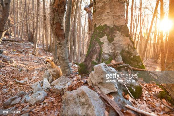 view of a fox on rock - andrea rizzi stock pictures, royalty-free photos & images