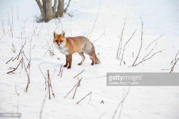 view of a fox on snow covered land - andrea rizzi stock pictures, royalty-free photos & images