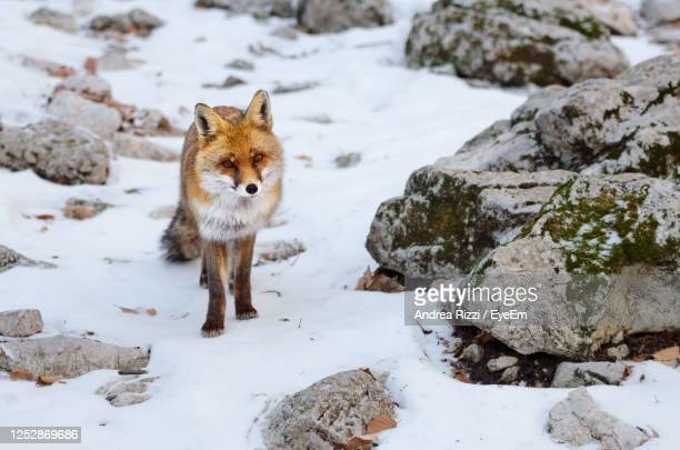 view of a fox on snow covered rock - andrea rizzi stock pictures, royalty-free photos & images