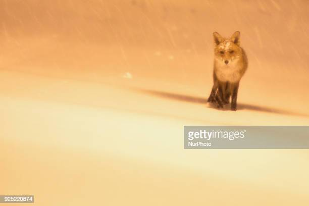 A view of a fox walking on Dublin's Mountpleasant Avenue covered by snow The 'Beast from the East' has hit Ireland with temperatures plunging to 3C...