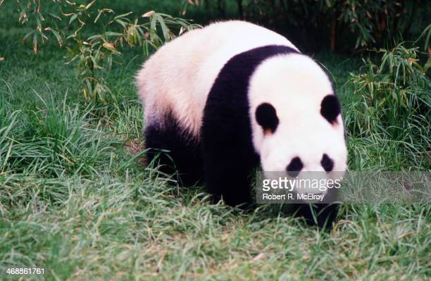 View of a Giant Panda at the Bronx Zoo New York New York April 20 1987 Two pandas the 2yearold Ling Ling and 6yearold Yong Yong had recently arrived...