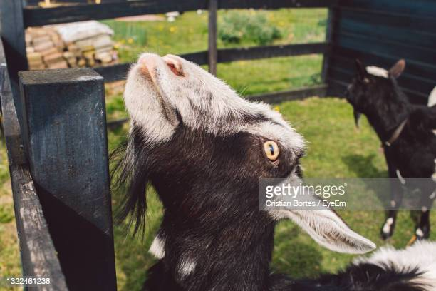 view of a goat on field - bortes stock pictures, royalty-free photos & images
