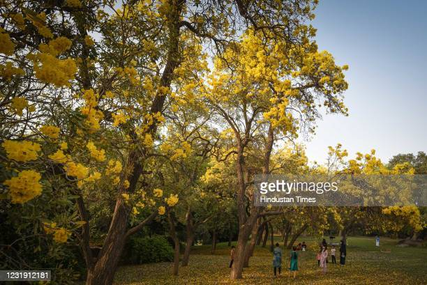View of a Golden Tabebuia Tree at Nehru Park on March 20, 2021 in New Delhi, India. As summer approaches, Delhi wear a vibrant look with flowering...