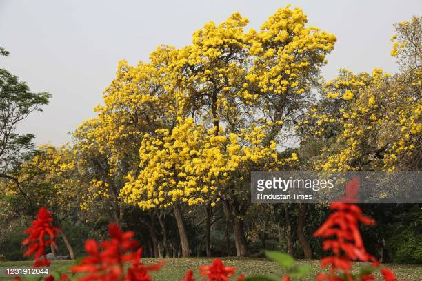 View of a Golden Tabebuia Tree Handroanthus chrysotrichus) at Nehru Park on March 18, 2021 in New Delhi, India. As summer approaches, Delhi wear a...