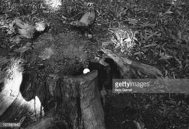 View of a golf ball in a rotten tree stump at the US Open golf championship, Brookline, Massachusetts, June 1963. The ball had bee shot by Arnold...