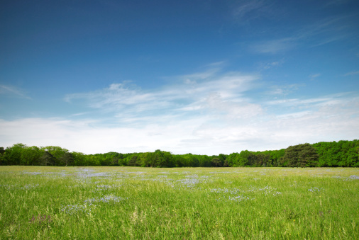 View of a green meadow with blue flowers on a sunny day 173936056