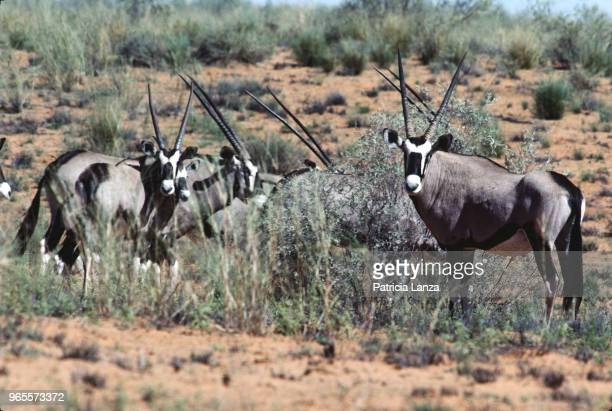 View of a group of gemsbok antelopes in the Kalahari Desert South Africa 1985