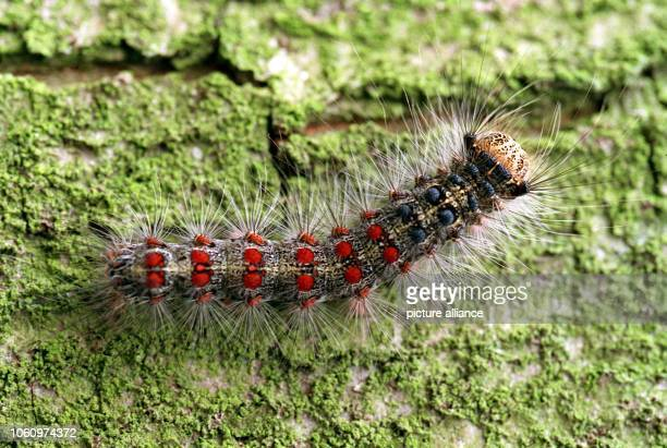 View of a Gypsy moth caterpillar photographed on the 16th of June in 1993 Whole forest and fruit stands have been stripped bare due to these insects