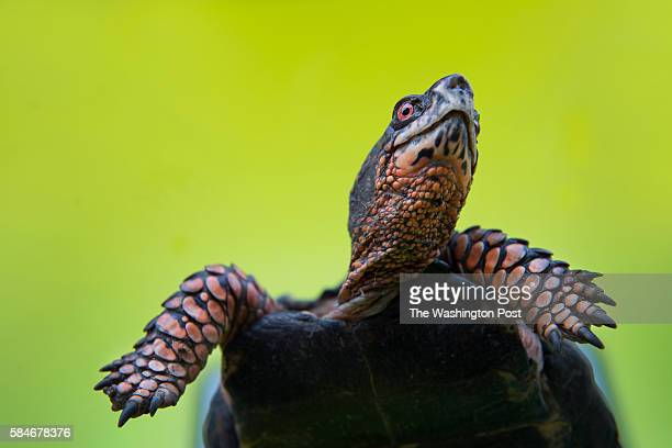 View of a healthy 30-year-old male Eastern Box Turtle who was found in Chevy Chase and brought to City Wildlife in Washington, DC on July 1, 2016....
